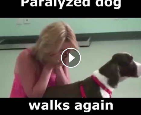 paralyzed dog walks again after surgery